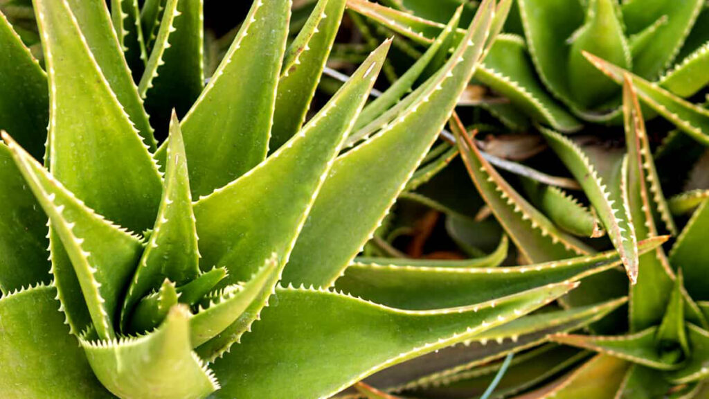 Babosa Aloe Vera