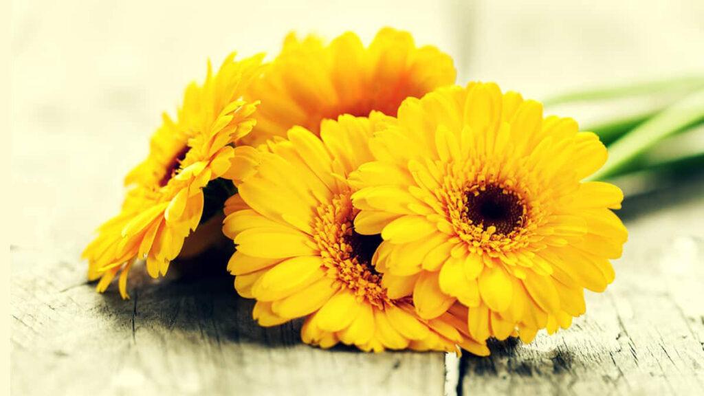 Gérberas Flores