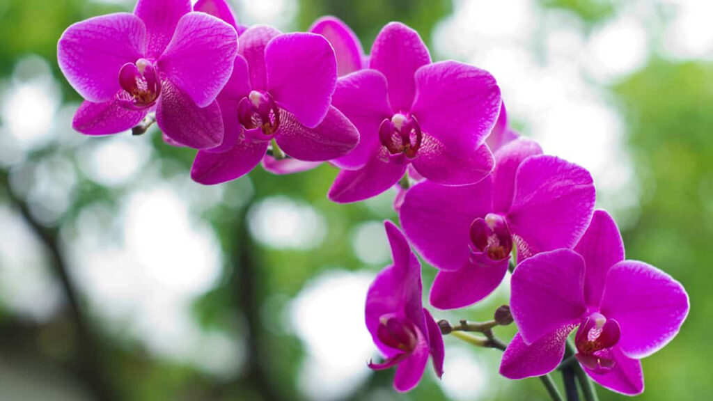 Significado de Orquídea