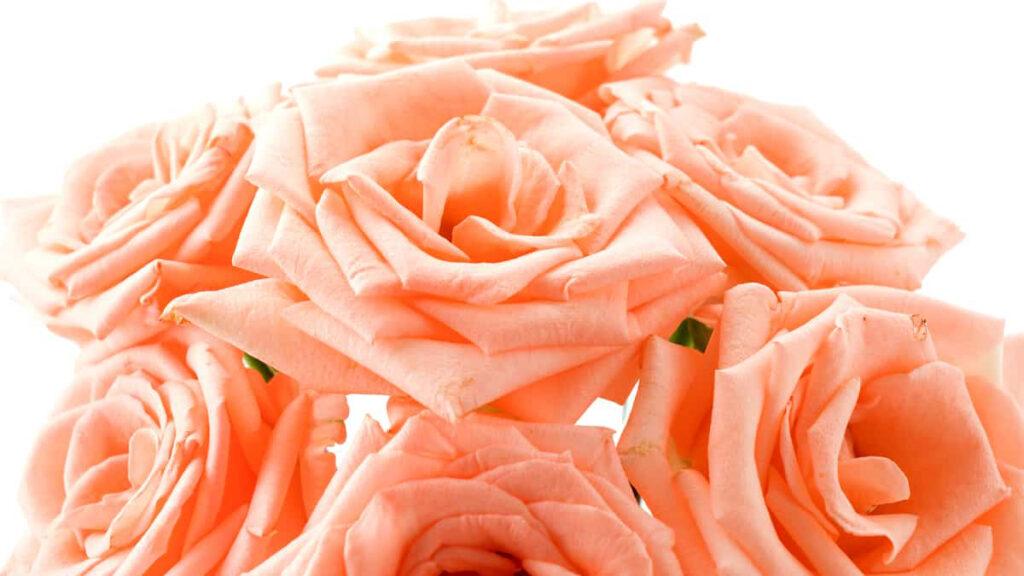 Significado Rosa Champagne