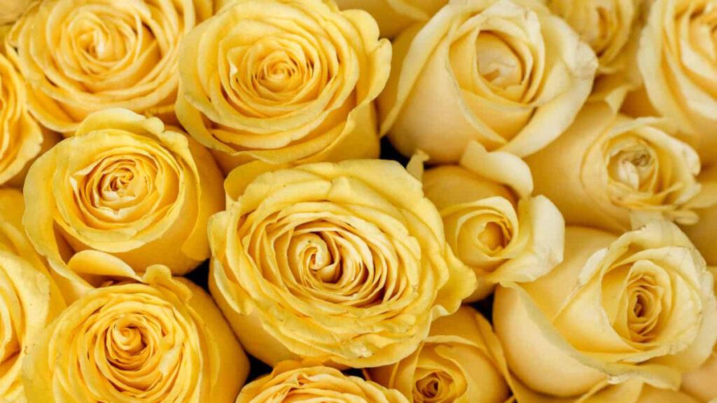 Significado Rosas Amarelas