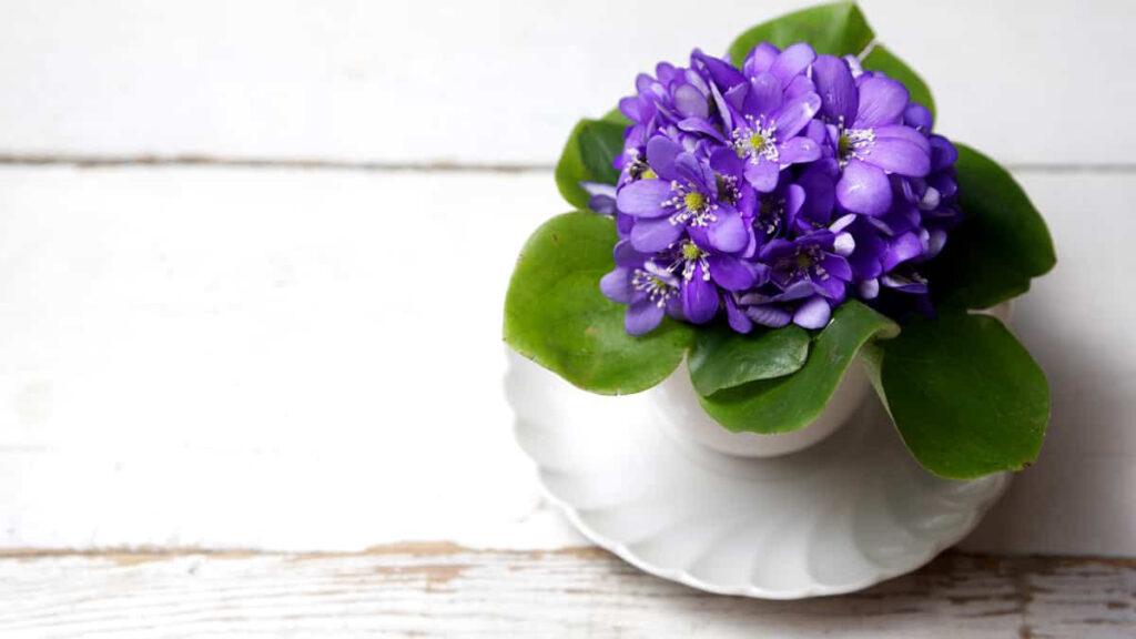 Violetas Flores