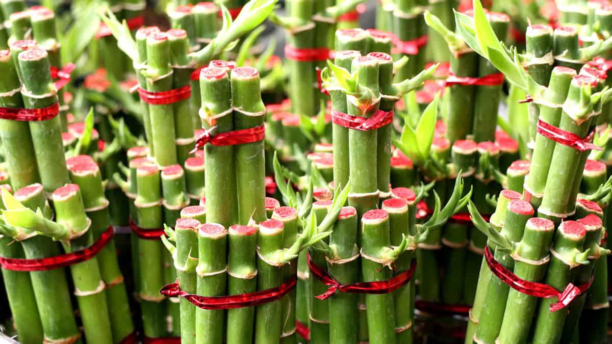 Bambu da Sorte e Prosperidade