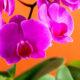 Significado e Simbolismo das Orquídeas
