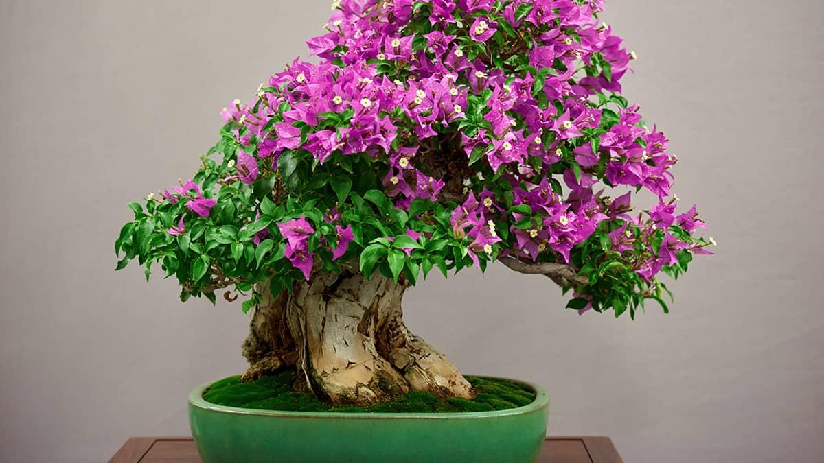 Conheça mais sobre o Bonsai uma arte de cultivo oriental
