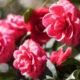 Camélia, a flor da abolição, seus significados e curiosidades